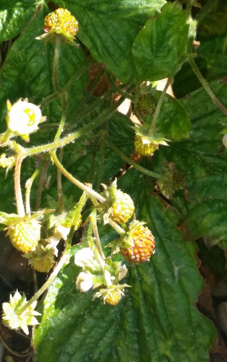 Wild strawberries ripening 2020 May